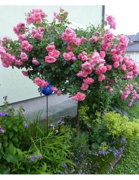 wysokopienna róża rosarium