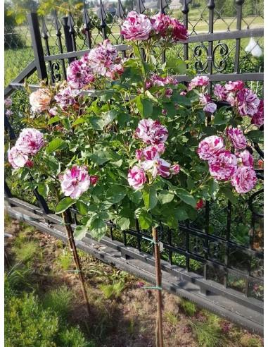 New Image pienne róże
