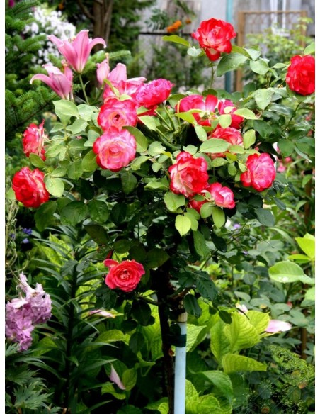 Róża pienna Jubilee du Prince de Monaco