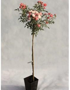 Margo Koster pomarańczowe róże pienne