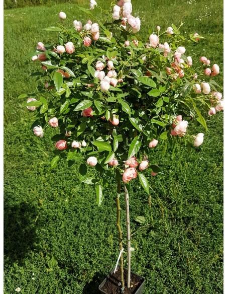 Margo Koster róże pienne