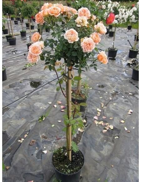 róze pienne sweet dream