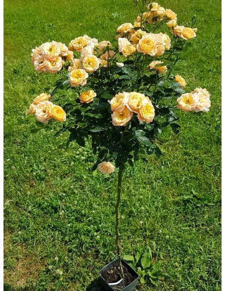 sweet dream róże pienne