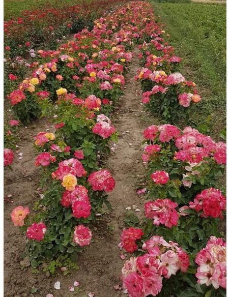Tzigane wielobarwne róże rabatowe