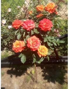 super trouper pomarańczowe róże pienne