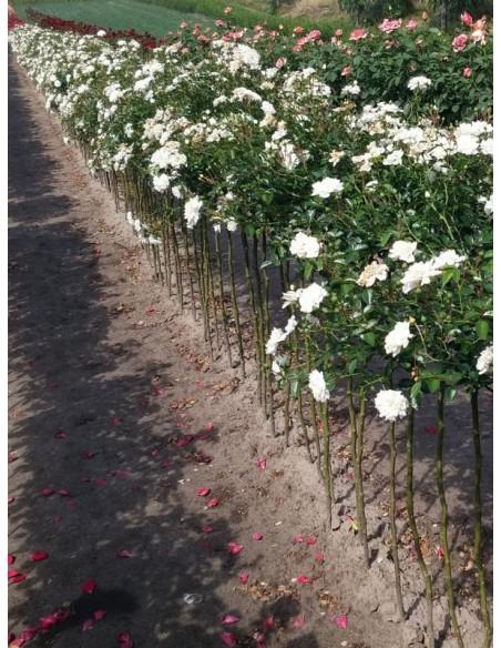 róże białe pienne Swany