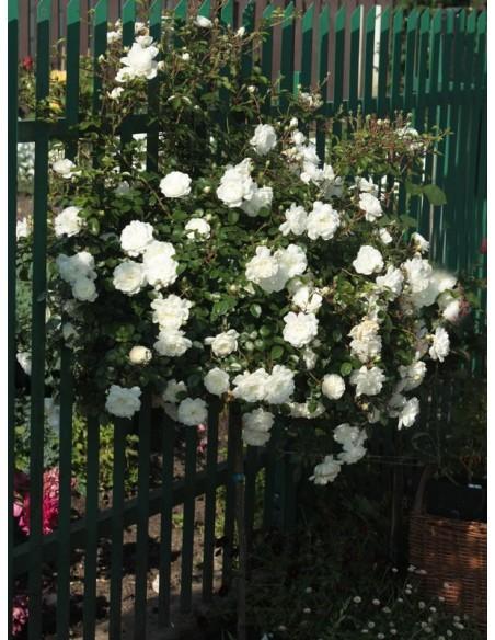 na pniu róża biała swany