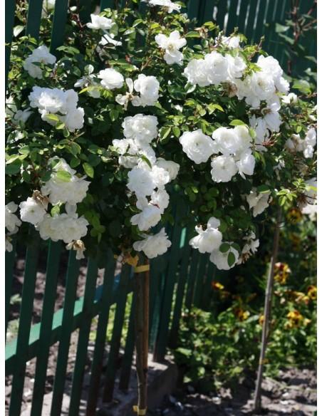 Swany biała róża na pniu