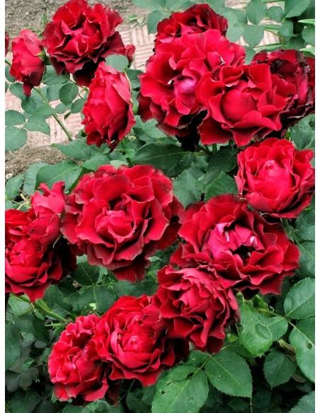 Hommage a Barbara wielkokwiatowe róże