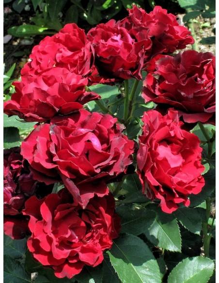 Hommage a Barbara Róże wielkokwiatowe