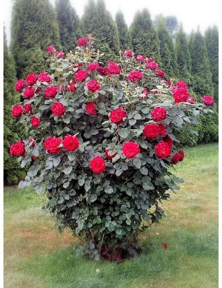 wielkokwiatowe róże Hommage a Barbara