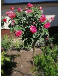 Double Delight pienne róże