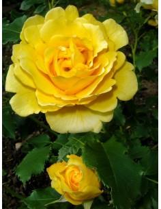 róża parkowa Chinatown