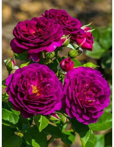 Ebb Tide róże rabatowe