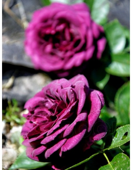 Ebb Tide bordowe róże rabatowe