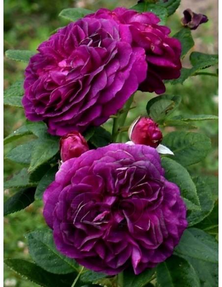 róże rabatowe Ebb Tide