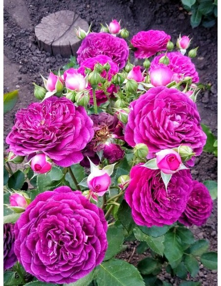rabatowe róże Ebb Tide