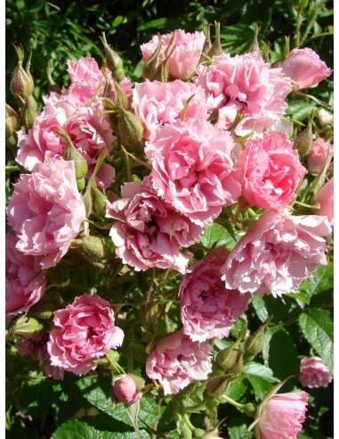 różowe róże krzaczaste Pink Grootendorst