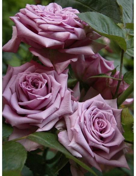 Mainzer Fastnacht pachnące niebieskie roze