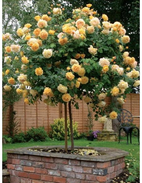 Lemon Parody żólte róże pienne