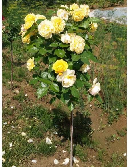 róże pienne Lemon Parody