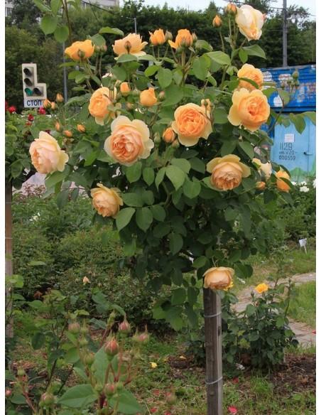 pienne róże Lemon Parody