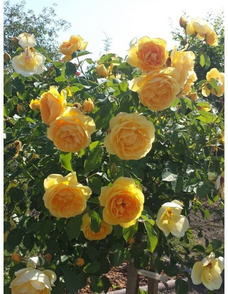 pachnące róże pienne Lemon Parody