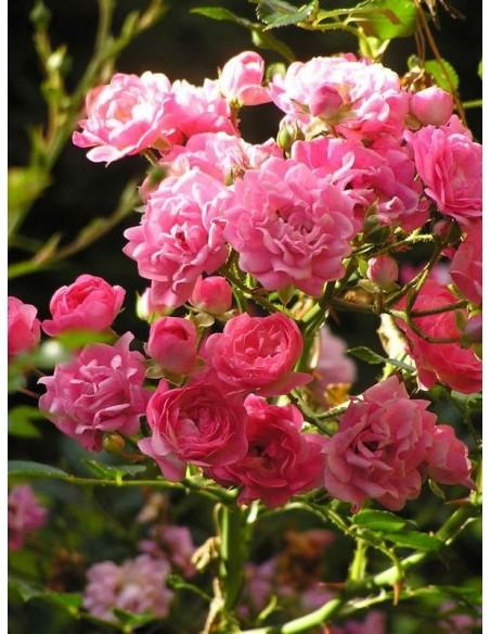 okrywowe roze The Fairy