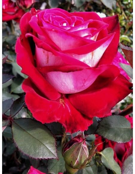 osiria róże wielkokwiatowe