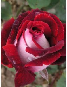 osiria wielkokwiatowe róże