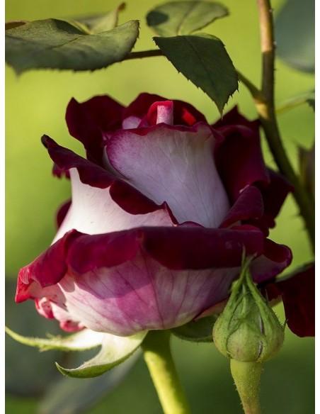 róże wielkokwiatowe osiria