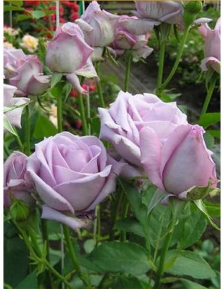 róże niebieskie