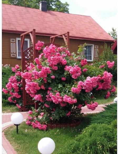 rosarium róże pnące różowe