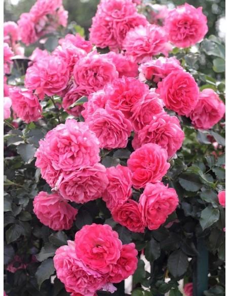 róże pnące różowe rosarium