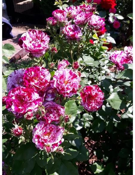 New Imagine rabatowe róże