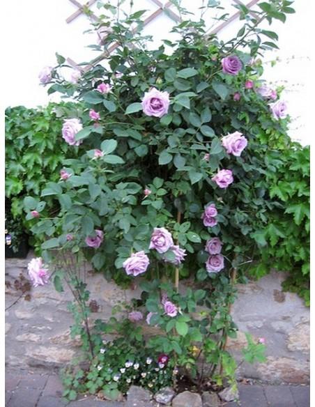 róża pnąca niebieska