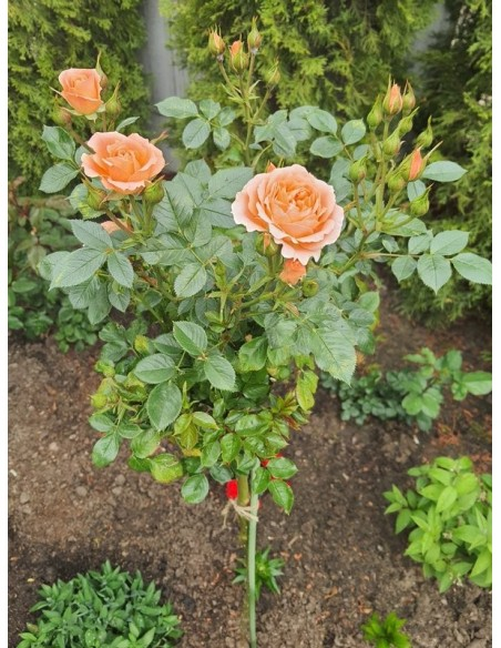sweet dream morelowe róże pienne
