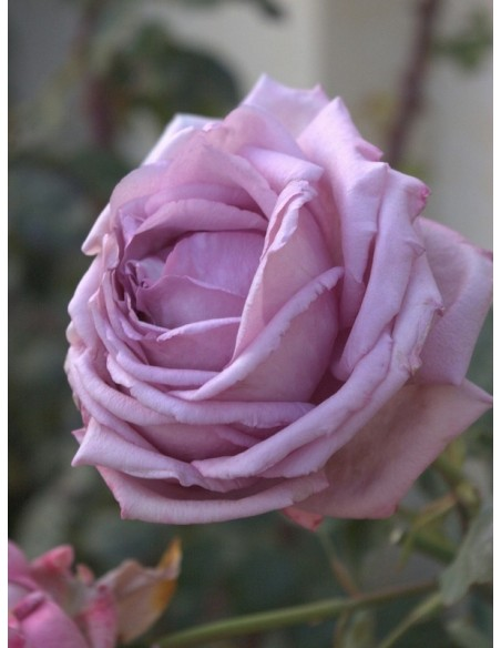 róża niebieska