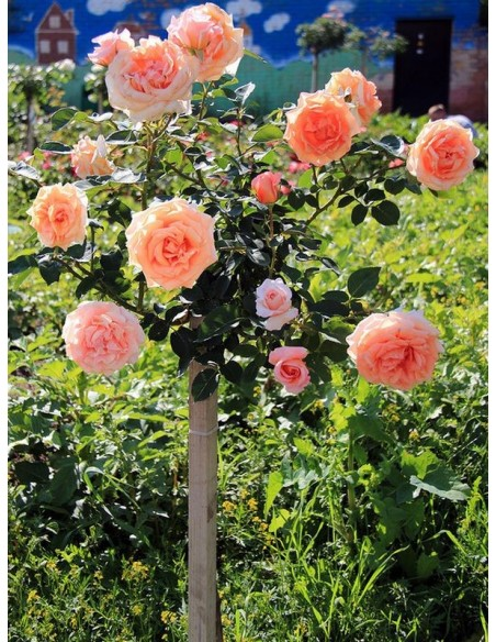 Warm Wishes pachnące róże pienne