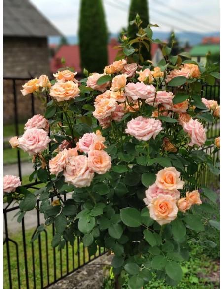 róże pienne Warm Wishes