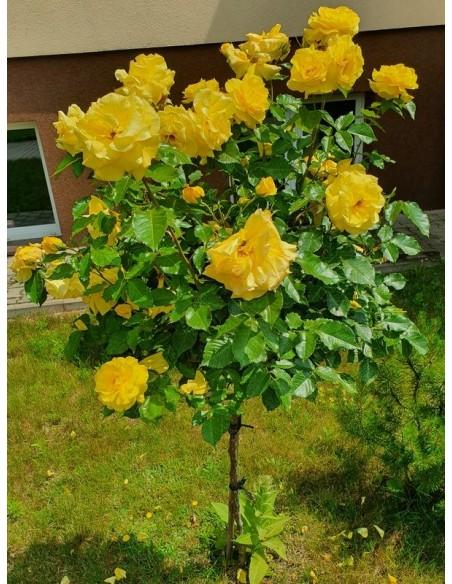 Korresia żółte róże pienne