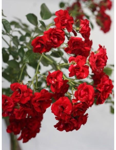 czerwone róze okrywowe Scarlatto