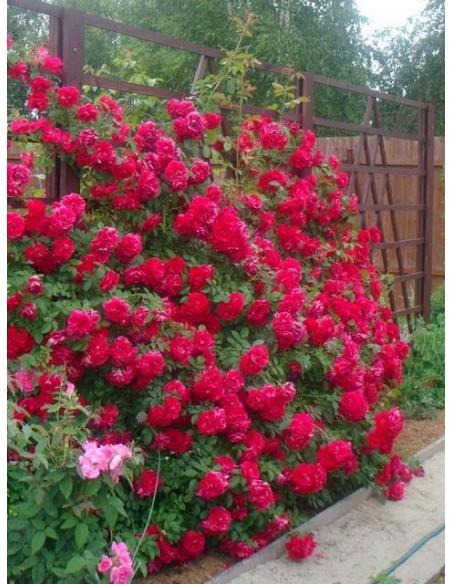 róże pnące Flamentanz