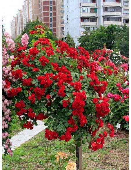 czerwona róża pienna Scarlato