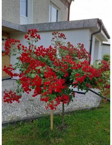 róża pienna czerwona Scarlato