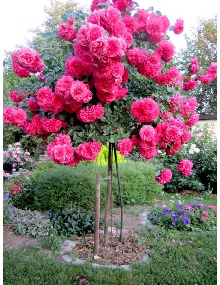 rosarium róża pienna