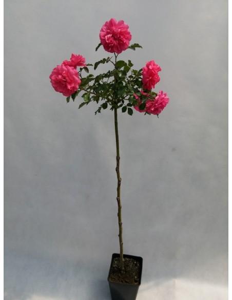 roze pienne rosarita