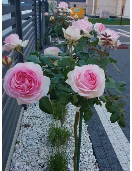 rajska róża pienna