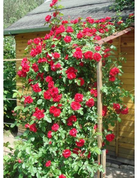 roze pnace Flamentanz