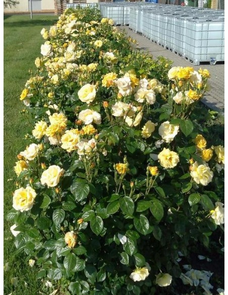 arthur bell róże rabatowe